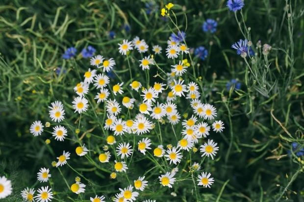 kaboompics.com_Chamomile flowers